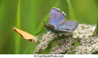 Two butterflies, wanderers, collect nectar from flower