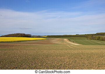 springtime crops in the yorkshire wolds - canola wheat and...