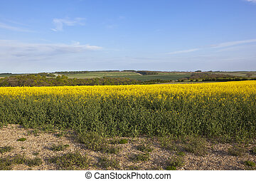 oilseed rape crop in the yorkshire wolds - a bright yellow...