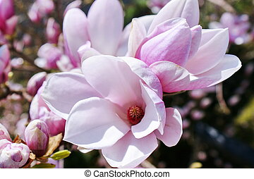 Magnolia - Natural background with magnolia flower on branch...