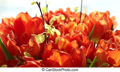 Beautiful bouquet of orange tulips. Video blur and focus.