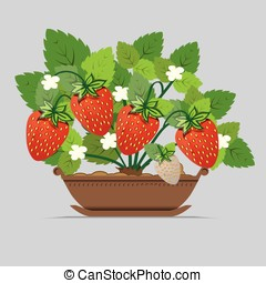 strawberry seedlings