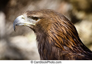 Tawny Eagle Aquila rapax - Photo of the Tawny Eagle Aquila...