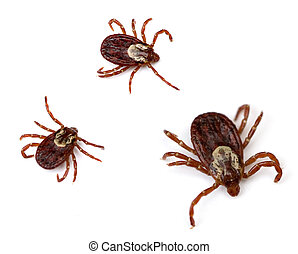 Dog Ticks - Three American Dog Ticks Dermacentor variabilis...