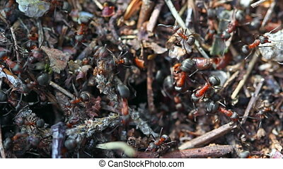 Ants working in ant hill. Macro video.