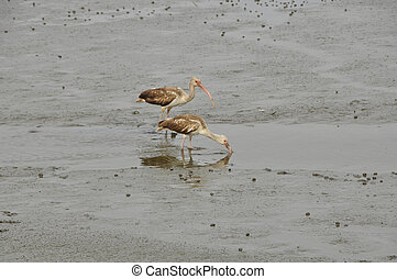 White Ibis Eudocimus albus - Not looking so white here in...