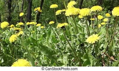 Spring field. Dandelion flowers. - Spring field. Dandelion...