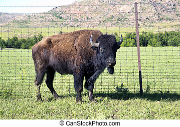 Buffalo of Oklahoma.