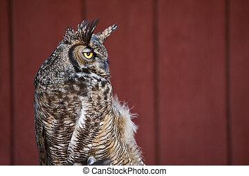 Western Screech Owl - Headshot of Western Screech Owl,...