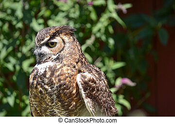 Western Screech Owl - Head shot of Screech Owl, Megascops...