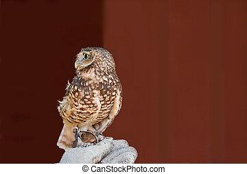Western Screech Owl - Rescued Western Screech Owl, Megascops...