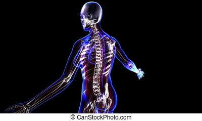 Female skeleton - All human body systems. Female skeleton...