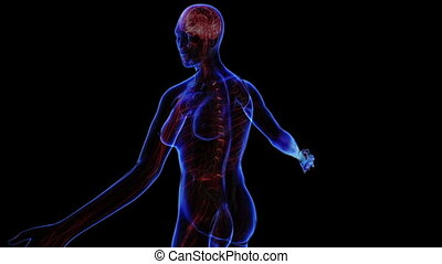 Female Nervous system - All human body systems Transition...
