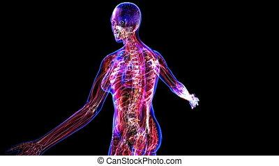 Anatomy Of The Female Body - All female body systems