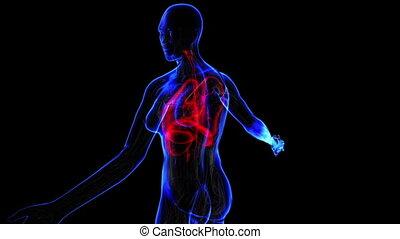 Female Respiratory system - Female  respiratory system. Loop