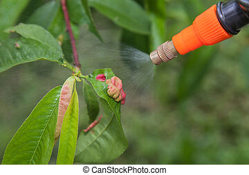 Spraying leaves fruit tree fungicide