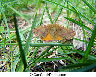 moth - a moth is sitting in the grass with its wings...