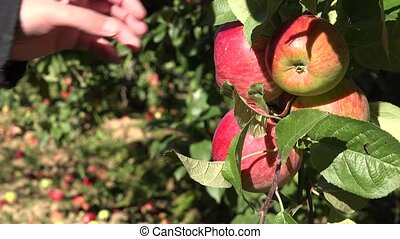 man hand picking red ripe apples from tree at orchard in...