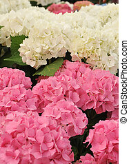 pink and white Hydrangea (Hortensia) - blossom of pink and...