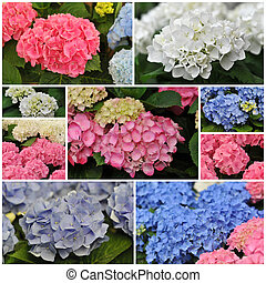 pink blue and white Hydrangea (Hortensia) - blossom of pink...