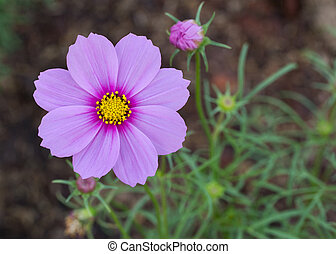 Blue cosmos flowers