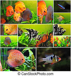 group of fishes - pterophyllum scalare symphysodon discus...