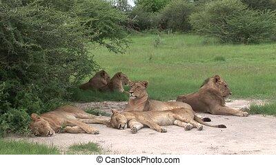 Lion wild dangerous mammal Africa safari - Africa safari...