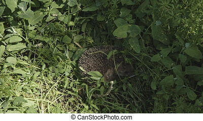 Hedgehog hiding in the grass