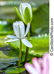 Couple white water lily