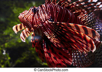 red firefish - red fire fish in aquarium, Underwater World...