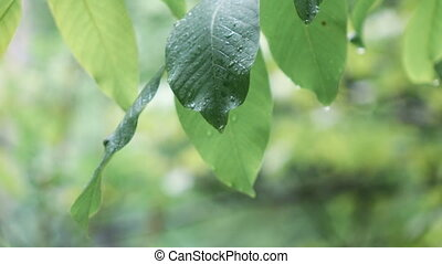 Walnut leaves during rain - Walnut large leaf during rain