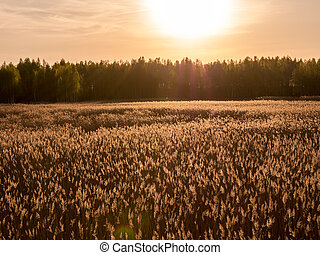 Golden Sunset and reed grass in contra