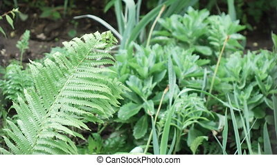 Fern during rain spring - Big leaf fern during rain