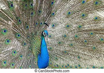 peacock with feathers out - beautiful peacock with feathers...