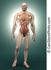 Human Anatomy visualization - 3D visualization of the human...