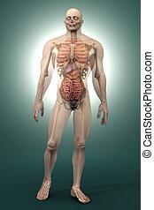 humano, anatomía, visualización,