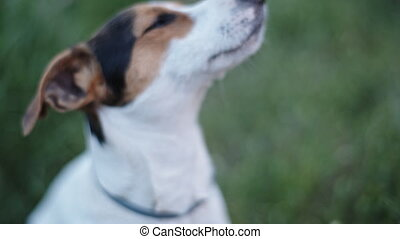 dog breed Jack Russell Terrier sniffs something in the air -...