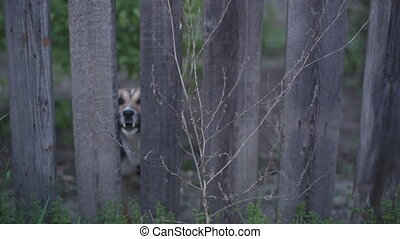 dog looking through wooden fence and barks - yard dog...