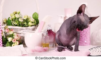 Hairless Don Sphinx kitty cat - Don Sphinx kitty cat licking...