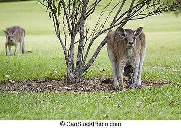 Noosa Valley Country Club - Kangaroo on the premises of the...