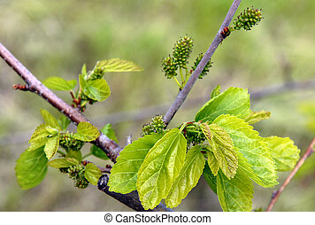 Unripe Mulberry Berries - Branch Of The Mulberry Tree With...