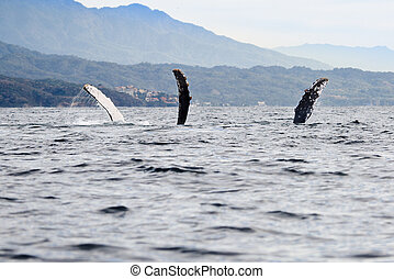 Sea monster - Whale watching in the Banderas Bay near Puerto...