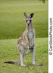 Noosa Valley Country Club - Kangaroo posing on the premises...