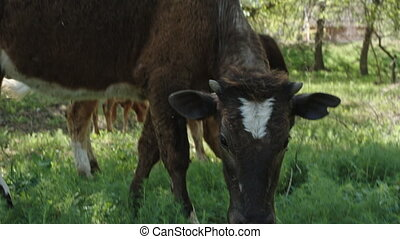 cow eating grass and swatting at flies - brown cow with a...