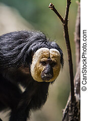 White-faced saki - Closeup of the white-faced saki on the...