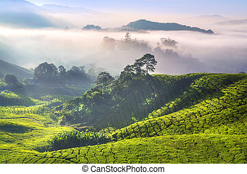 Tea Plantations at Cameron Highlands Malaysia. Sunrise in...