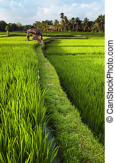 Rice field in Bali - Rice field in early stage at Ubud,...