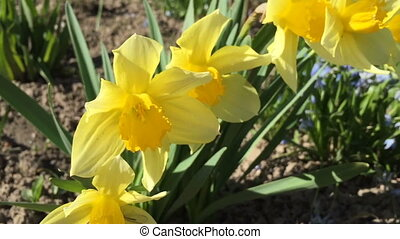 Small yellow daffodils in the yard. Springtime video full...