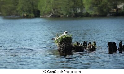 Seagull sitting in the nest on the lake