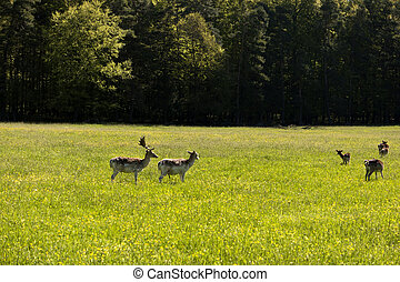 Deers in the Altmuehtal in Germany